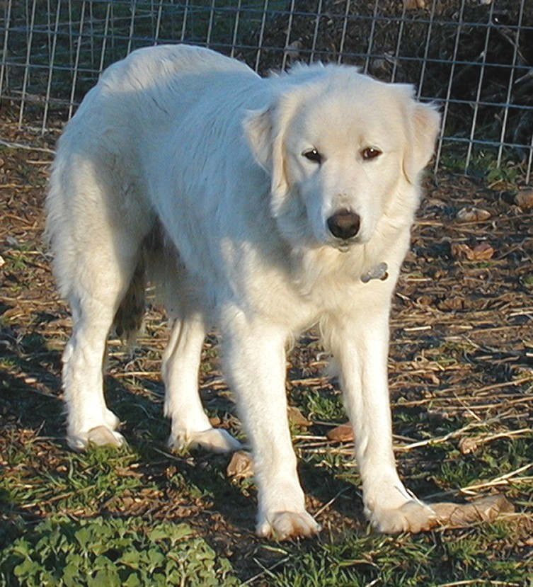 Great Pyrenees Lab Mix Dogs